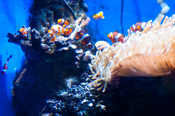 Finding Nemo cast clown fish Barcelona Aquarium BCN barca sea underwater life sea world orange kids what-to-do