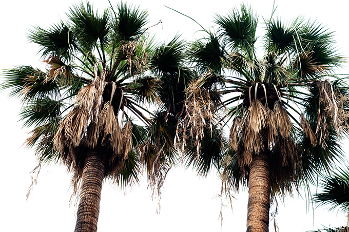 Palm trees tropical vegetation barcelona guide tree plants grow sight view