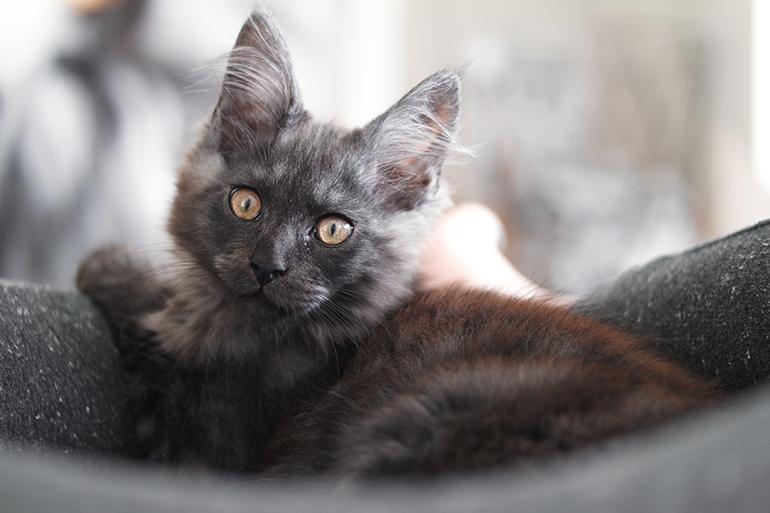 RED REIDING HOOD: Black smoke maine coon kitten hercules cattery ginsea almere