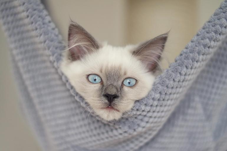 RED REIDING HOOD: Pegasus blue point ragdoll kitten cute blue eyes