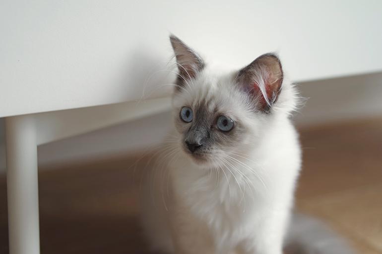 RED REIDING HOOD: Pegasus blue point ragdoll kitten levindaworldoffragdoll kayla