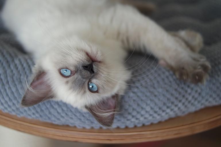 RED REIDING HOOD: Pegasus cute ragdoll kitten blue eyes cat