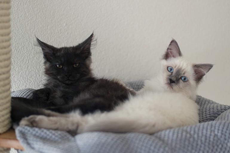 RED REIDING HOOD: Hercules Pegasus black smoke maine coon kitten blue point ragdoll cat babies cute cats