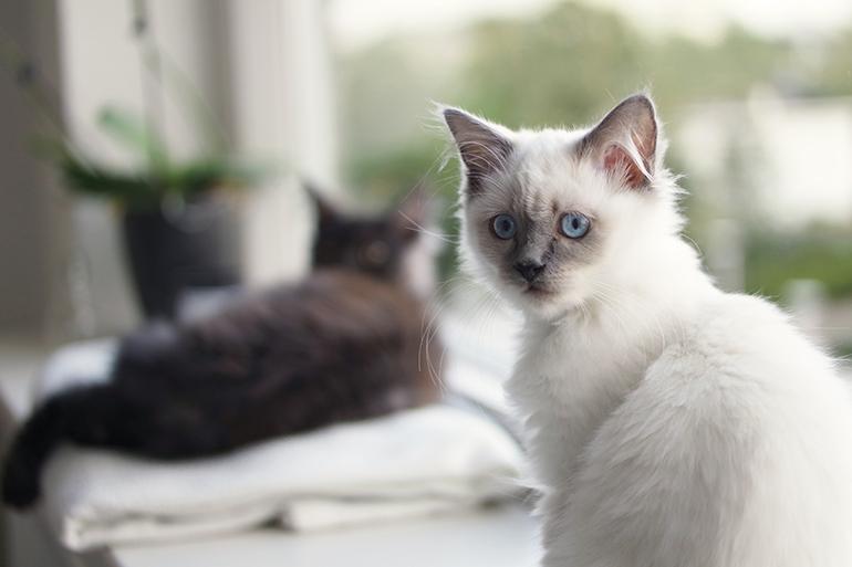RED REIDING HOOD: Blue point ragdoll kitten maine coon cute cats