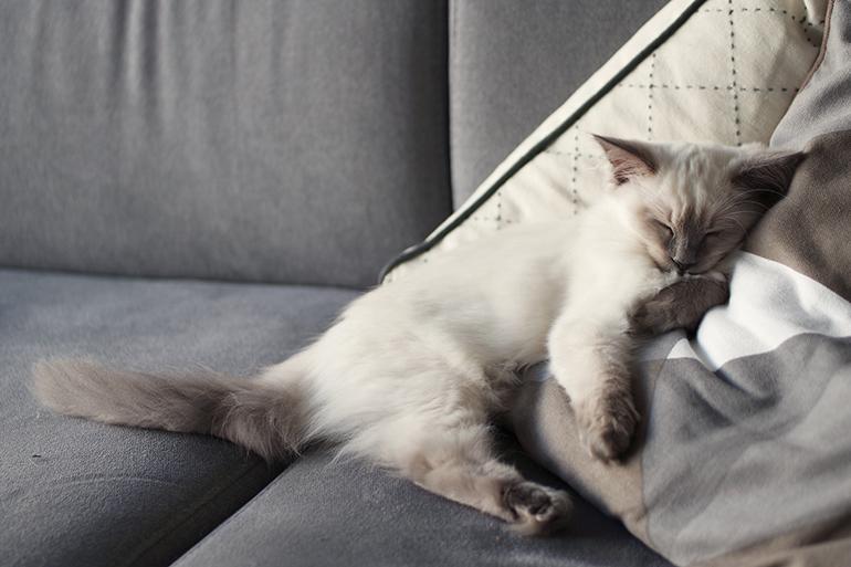 RED REIDING HOOD: Blue point ragdoll kitten sleepy baby cat