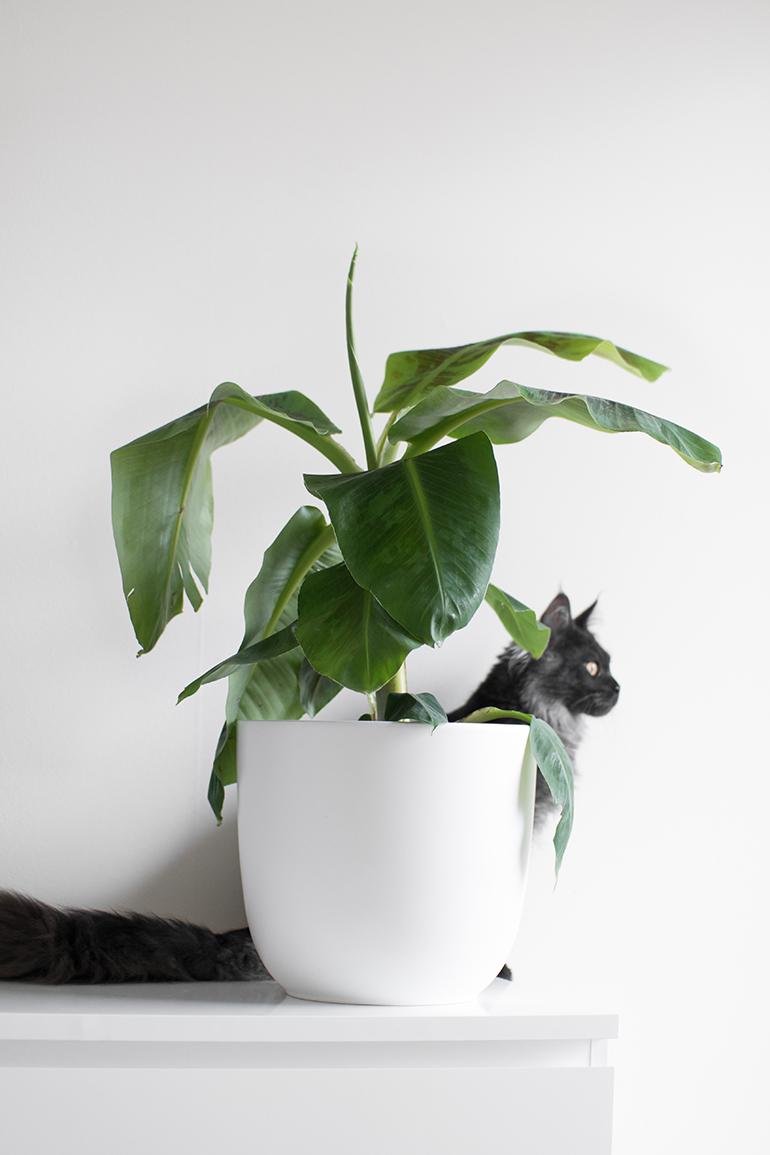 RED REIDING HOOD: Cat-friendly banana plant non-toxic houseplant kamerplant niet giftig voor katten bananenplant