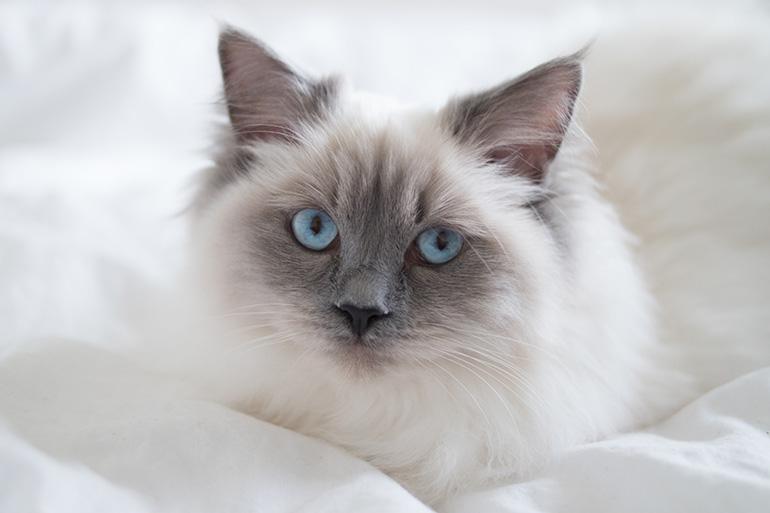 RED REIDING HOOD: Cute blue point ragdoll kitten blue eyes